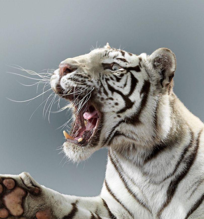 5df9e73117d5b 75467891 171863147350446 431187196546632274 n 5df6cf43e29ed  880 - Fotógrafo e grandes felinos através de retratos simplesmente de arrepiar