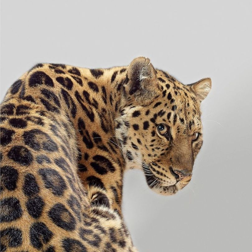 5df9e7315c995 Fashion photographer has taken big cat portraits for a year and revealed that each animal has its own character 5df74f90c54eb  880 - Fotógrafo e grandes felinos através de retratos simplesmente de arrepiar