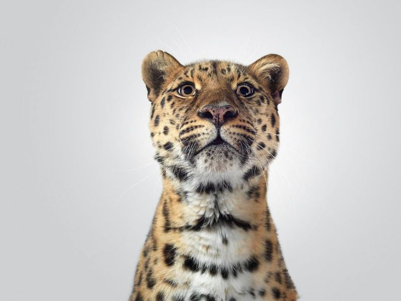 5df9e7319bb05 Fashion photographer has taken big cat portraits for a year and revealed that each animal has its own character 5df74f9287628  880 - Fotógrafo e grandes felinos através de retratos simplesmente de arrepiar