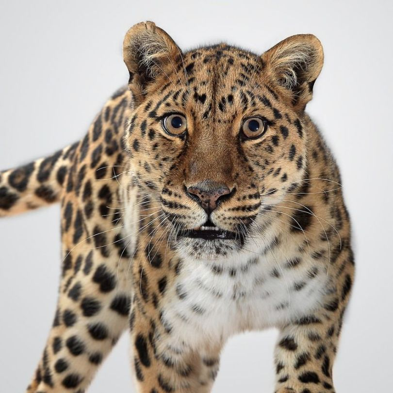 5df9e731d549f Fashion photographer has taken big cat portraits for a year and revealed that each animal has its own character 5df74f8d8f464  880 - Fotógrafo e grandes felinos através de retratos simplesmente de arrepiar