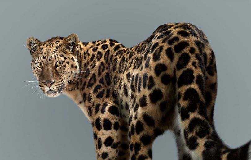 5df9e7325927b Fashion photographer has taken big cat portraits for a year and revealed that each animal has its own character 5df74f8f3c44a  880 - Fotógrafo e grandes felinos através de retratos simplesmente de arrepiar