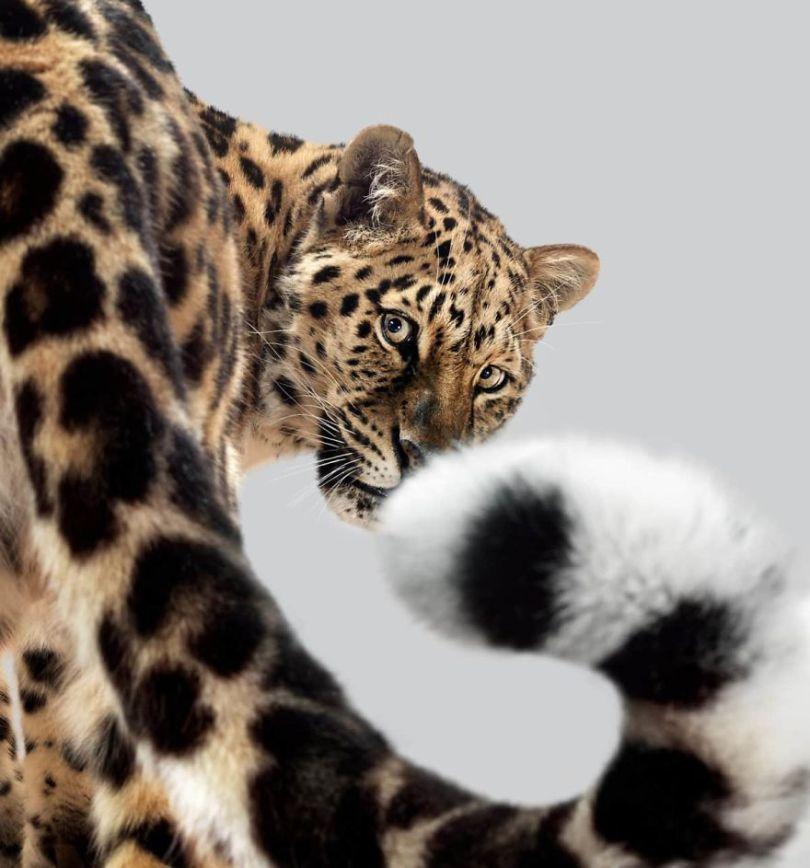 5df9e73295a79 britanskij fotograf god snimal portrety bolshih koshek i pokazal chto v kazhdom zvere svoj harakter 4 5df6cfed37bf2  880 - Fotógrafo e grandes felinos através de retratos simplesmente de arrepiar