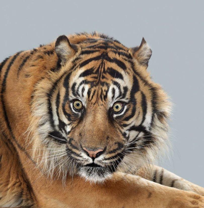 5df9e7343b69c Fashion photographer has taken big cat portraits for a year and revealed that each animal has its own character 5df74f8119c73  880 - Fotógrafo e grandes felinos através de retratos simplesmente de arrepiar