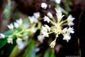 Miniature dendrobiums, Khao Lak-Lam Ru national park