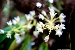 Miniature dendrobiums, Khao Lak-Lam Ru national park