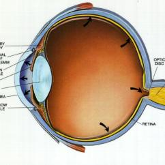 Canine Eye Diagram Opel Vectra C Radio Wiring Glaucoma Bing Images