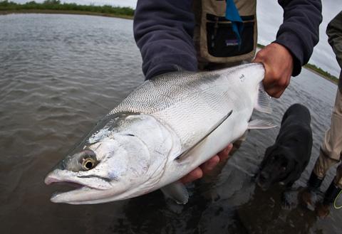 Chum Salmon at Alaska West