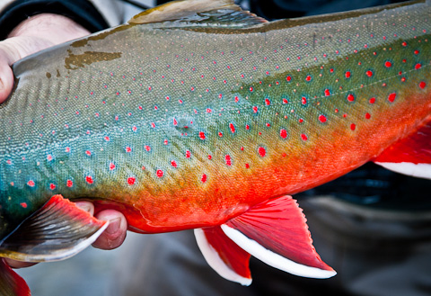 Dolly Varden at Alaska West