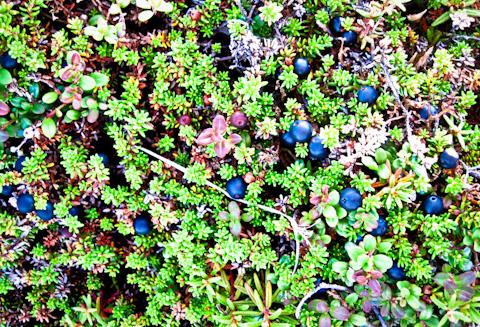 Flora of Alaska-1