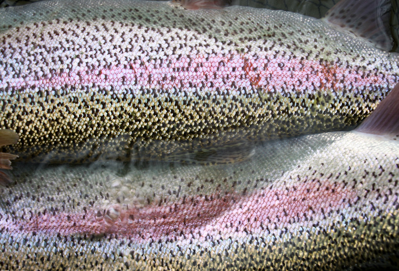 rainbow trout rig roundup | alaska trout fishing, Fly Fishing Bait