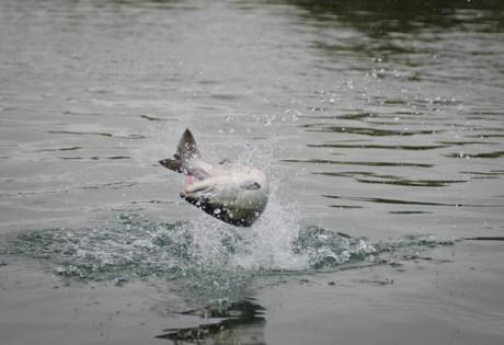 Silver Salmon - Alaska West