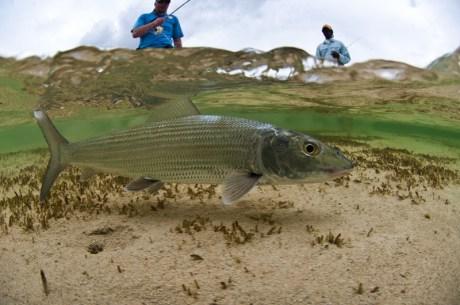 Bonefish in Clear Water