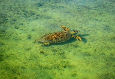 Bahamas Turtle