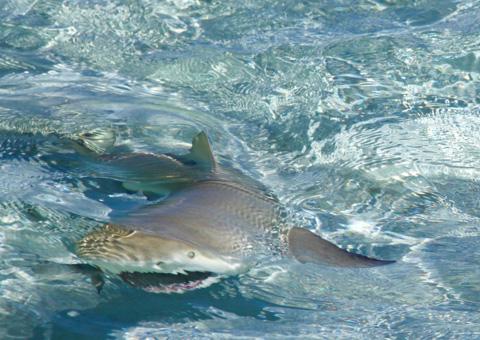 Viau Andros Photos Shark