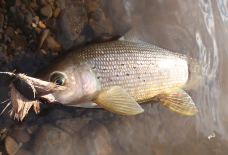 Grayling on Mice at Alaska West