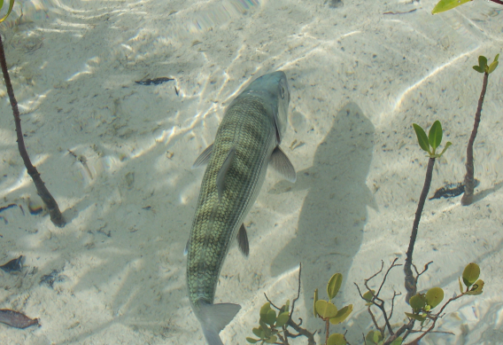 Fly fishing for bonefish at South Andros Bonefish Lodge