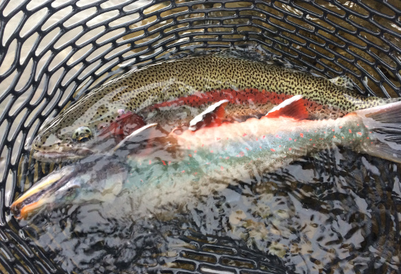 Rainbow Trout and Dolly Varden at Alaska West