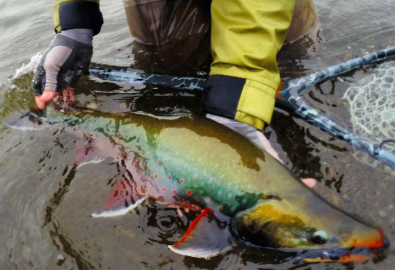 Fly Fishing for Dolly Varden and Arctic Char