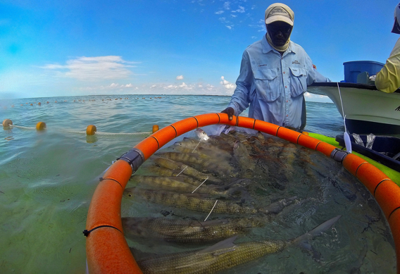 Tagging Bonefish on South Andros Island.