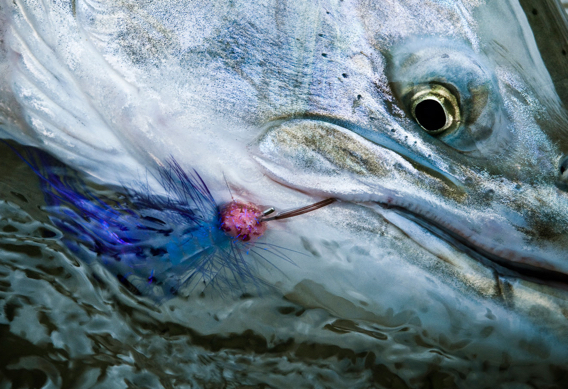 Steelhead by Louis Cahill.