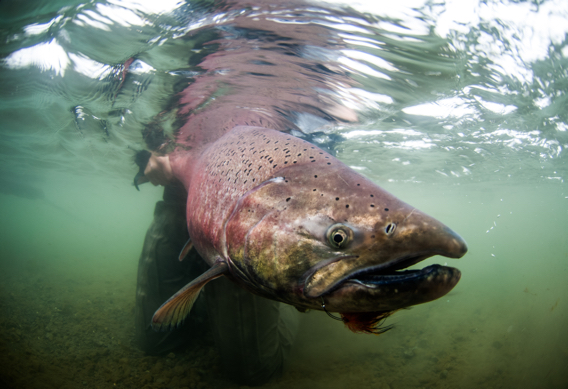 Underwater king salmon by Tosh Brown