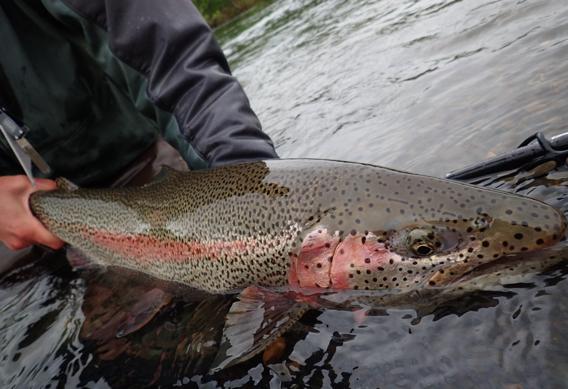 Big leopard rainbow trout.