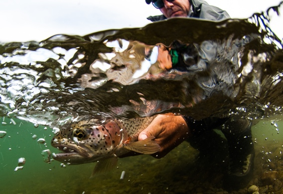 Leopard Rainbow Trout Release by Tosh Brown.