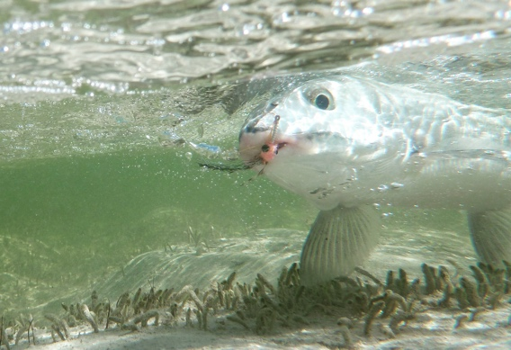 Underwater bonefish picture.
