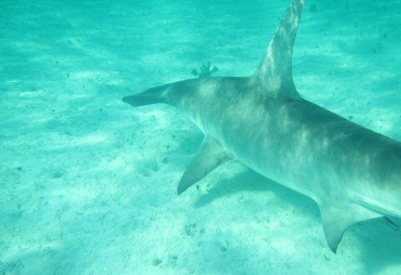 Hammerhead shark at Andros South.
