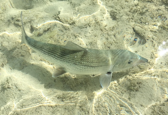 Fly Fishing for Bonefish.