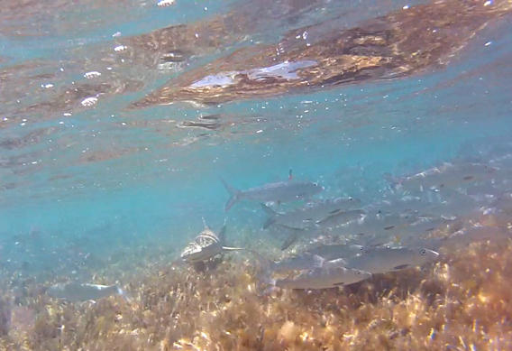 Bonefish and lemon sharks at Andros South.