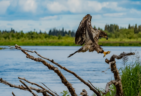 Juvenile eagle at rapids camp lodge.