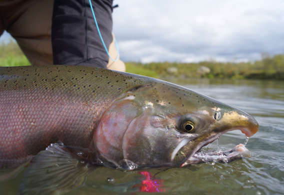 Fly fishing for silver salmon at Alaska West by Greg Houska