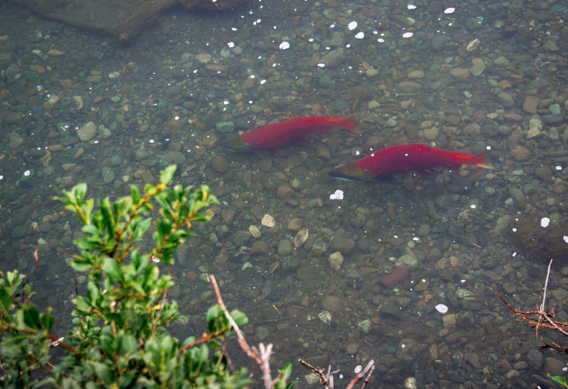 Spawning sockeye salmon at Alaska West by Greg Houska.