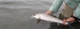 releasing bonefish