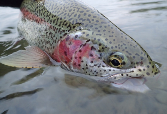 leopard rainbow trout