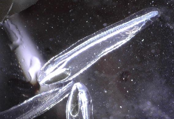 Bonefish larva