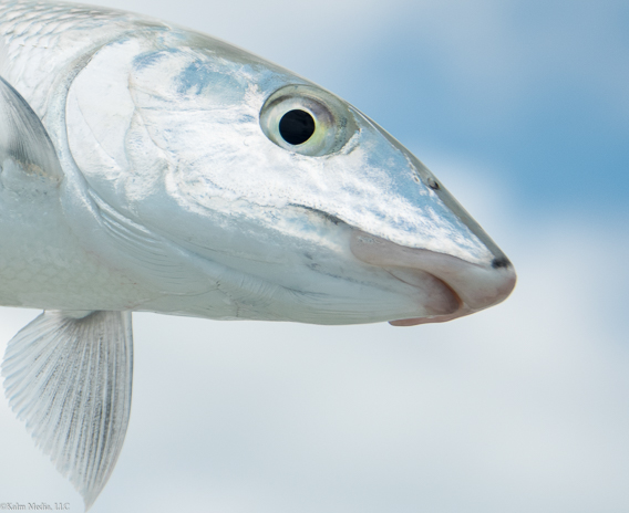 Bonefish face by Bill Kalm
