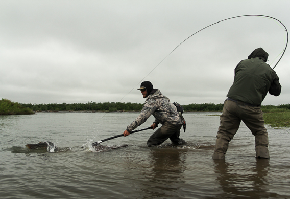 Fighting king salmon