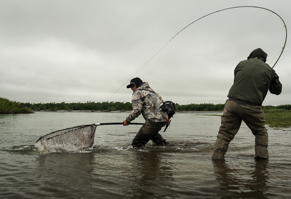 Landing king salmon with a net