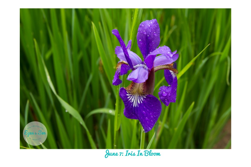 June 7 Iris in Bloom