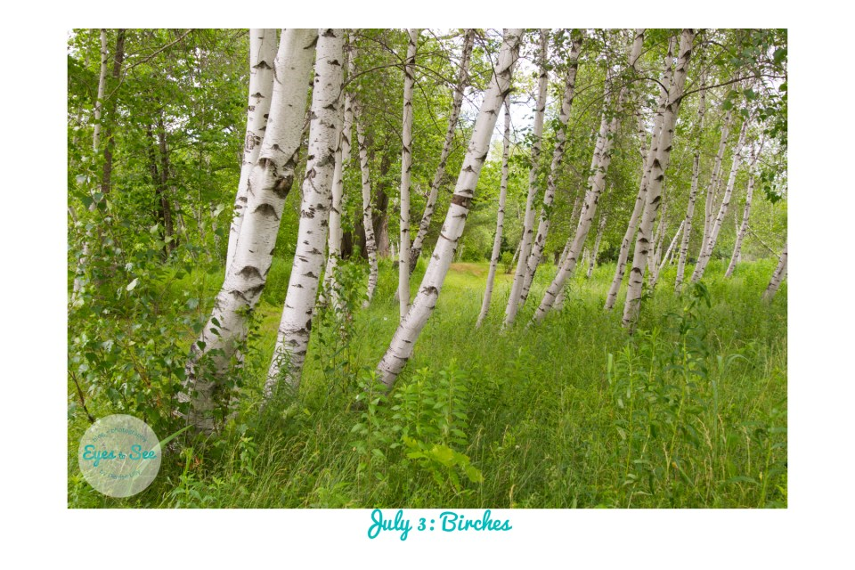 July 3 Birches