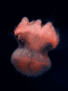 Jellyfis-12.png 3