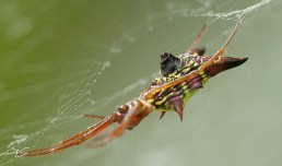 Arrowhead Micrathena
