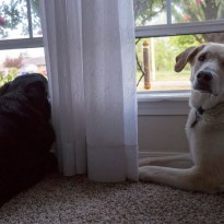 2016-04-18 Dogs Looking Out Window-02