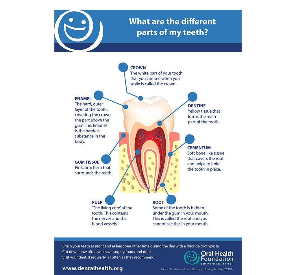 Parts Of A Tooth Poster