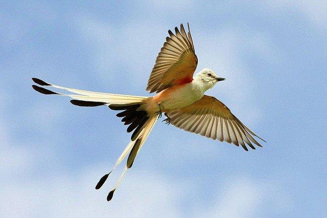 scissor-tailedflycatcherflight