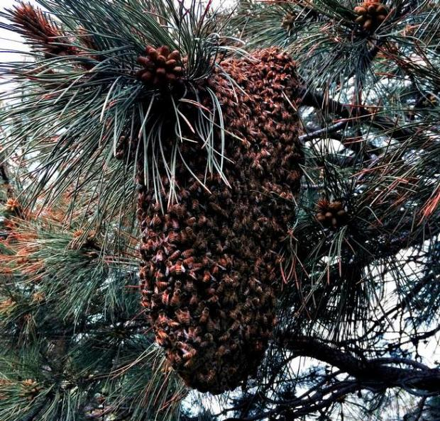 A swarm of bees gathers in a pine tree in north Boulder. Bees are docile in this state as they protect the queen while scout bees fly in search of a new home.