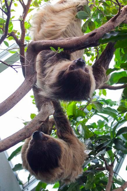 Sloths Charlotte Greenie and Elliot hang around at the Denver Zoo's Bird World.