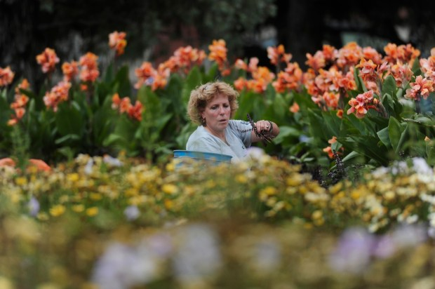 August 24, 2009 -- Karen Zeldin, a horticulture worker for the Parks Dept., tends to the flower beds in Alamo Placita Park. John Sunderland, The Denver Post